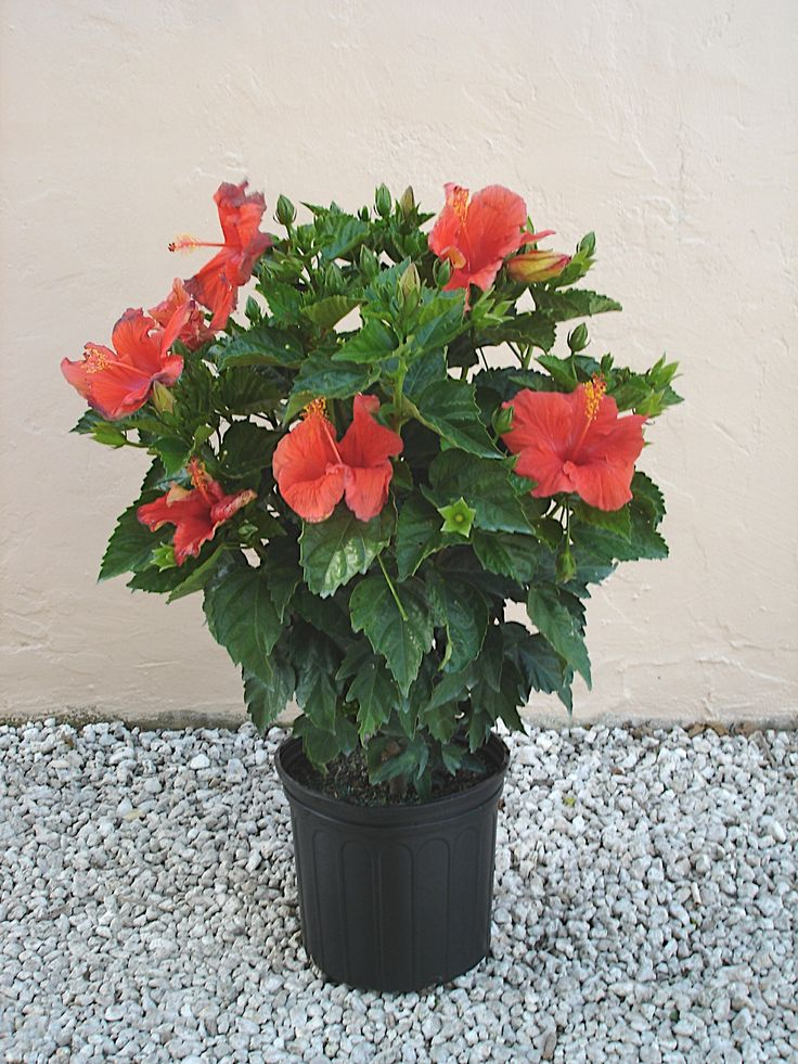 hibiscus-bush