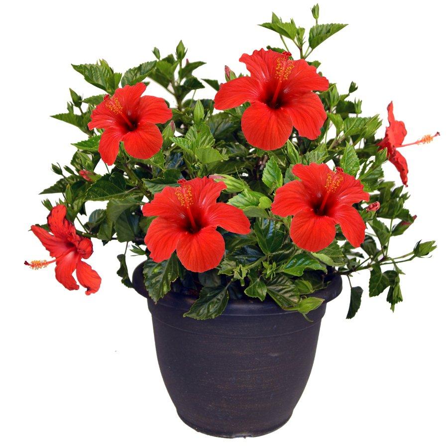 hibiscus-flower-plant
