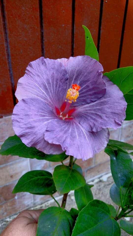 hibiscus-flower-practical