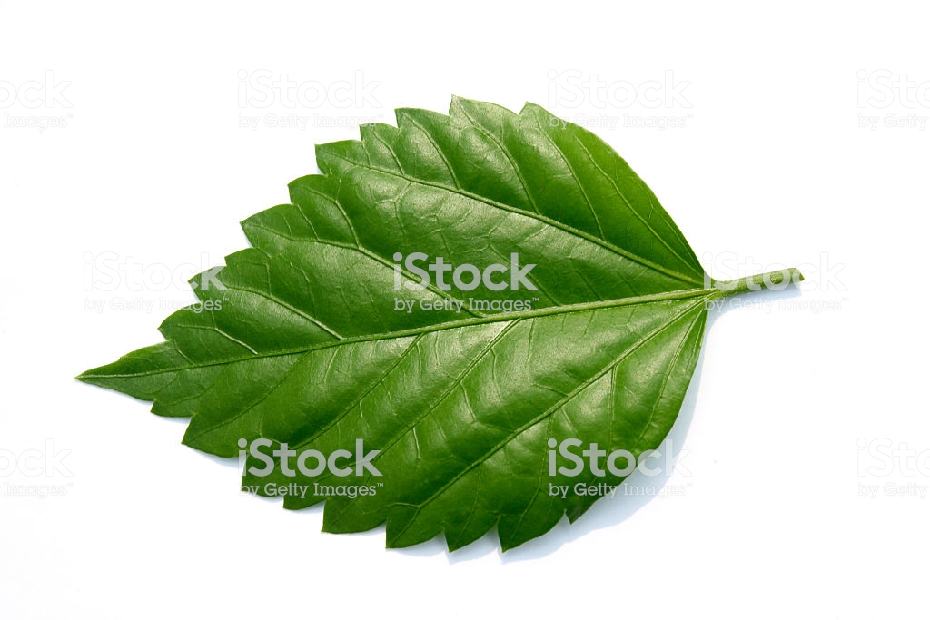 hibiscus-leaves-images