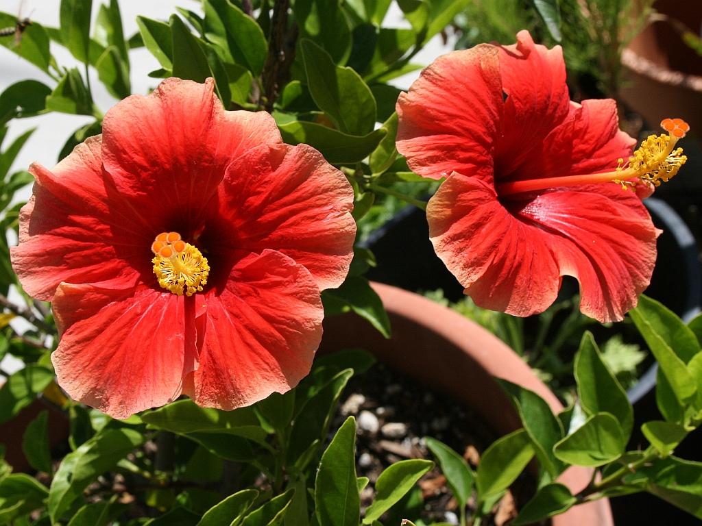 hibiscus-roses