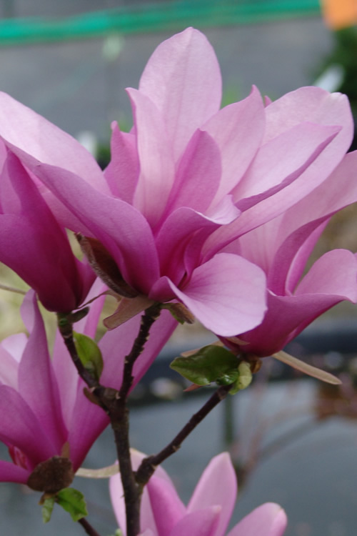 jane-magnolia-tree-for-sale