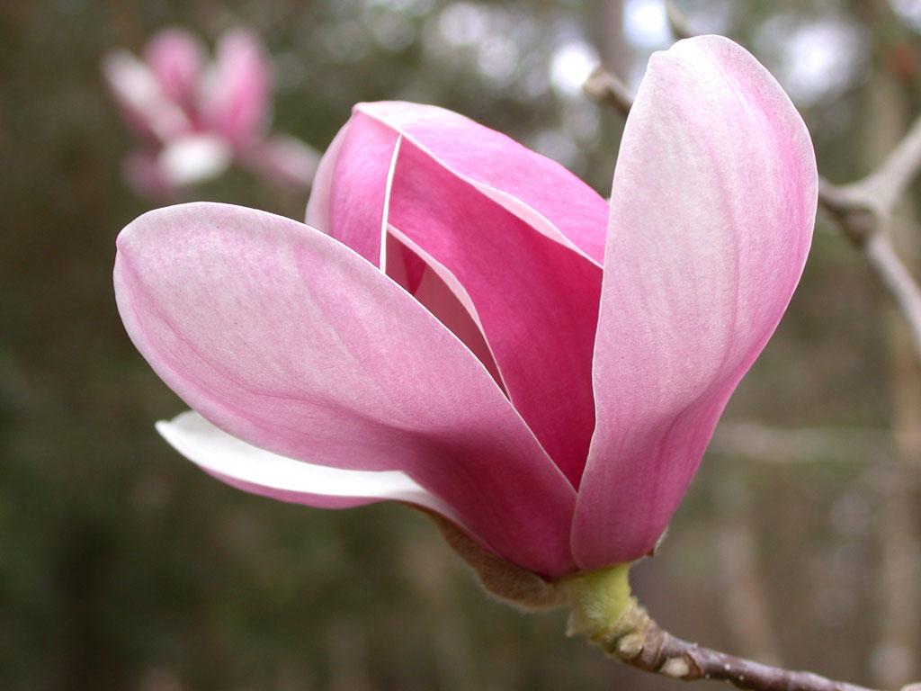 magnolia-plant