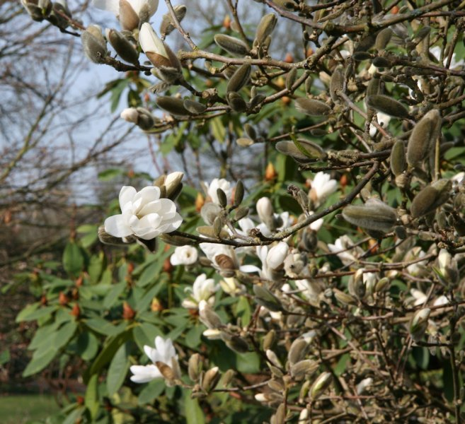 magnolia-stellata-leaves
