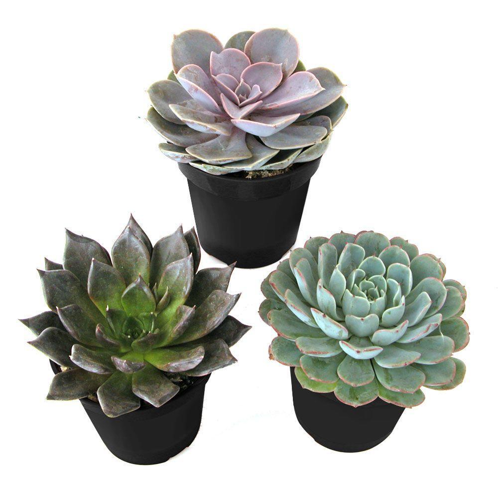 mini-succulents-home-depot