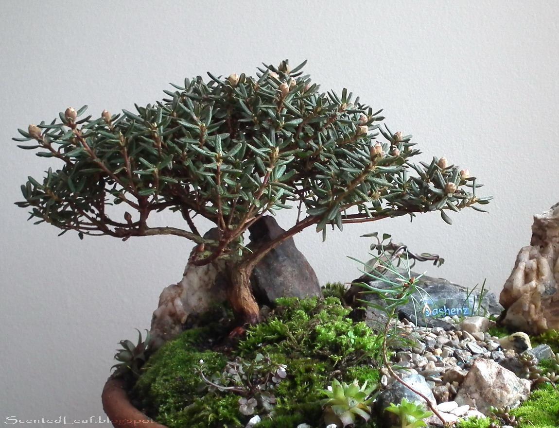 miniature-azalea-bonsai