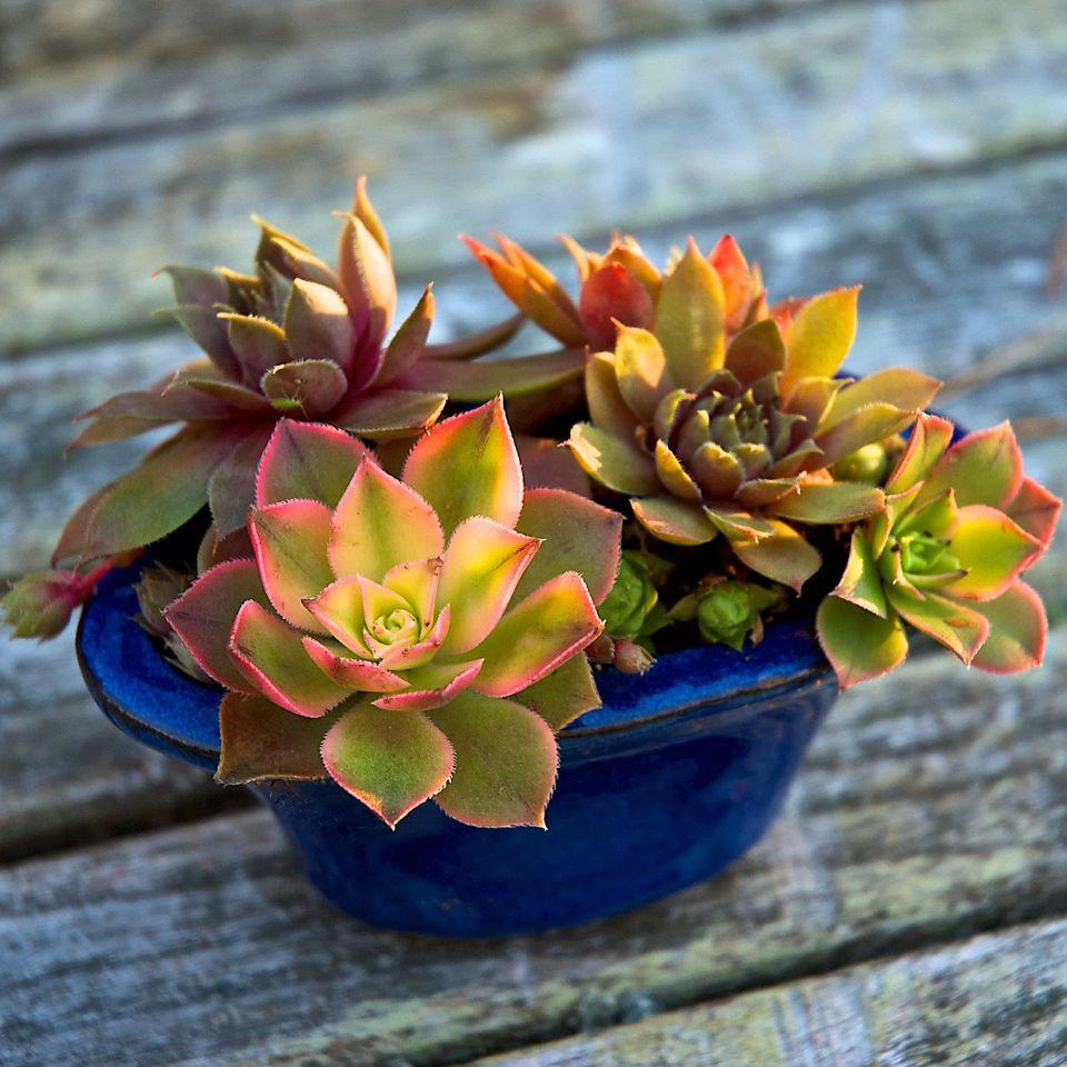 miniature-succulent-garden