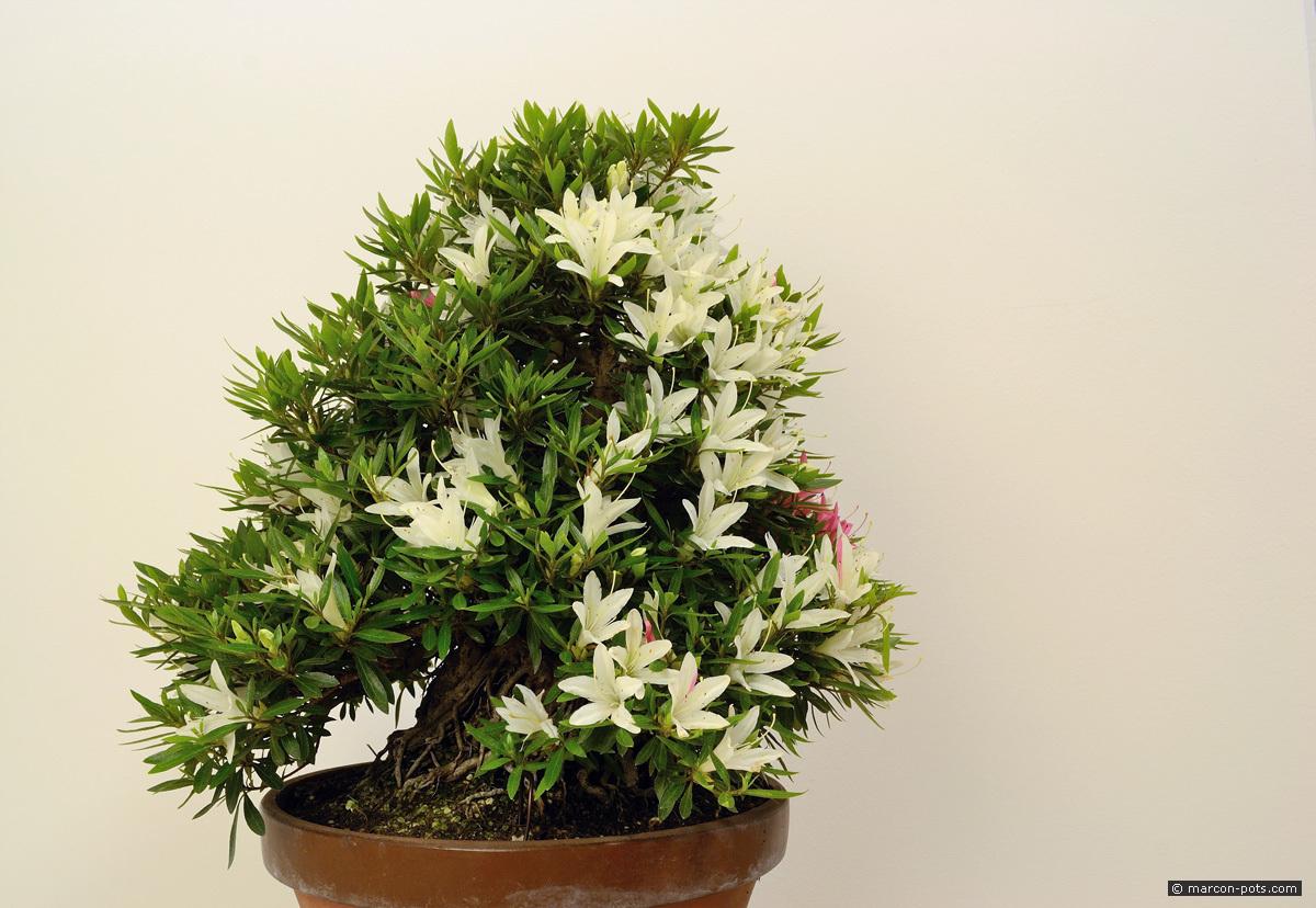 rhododendron-bonsai