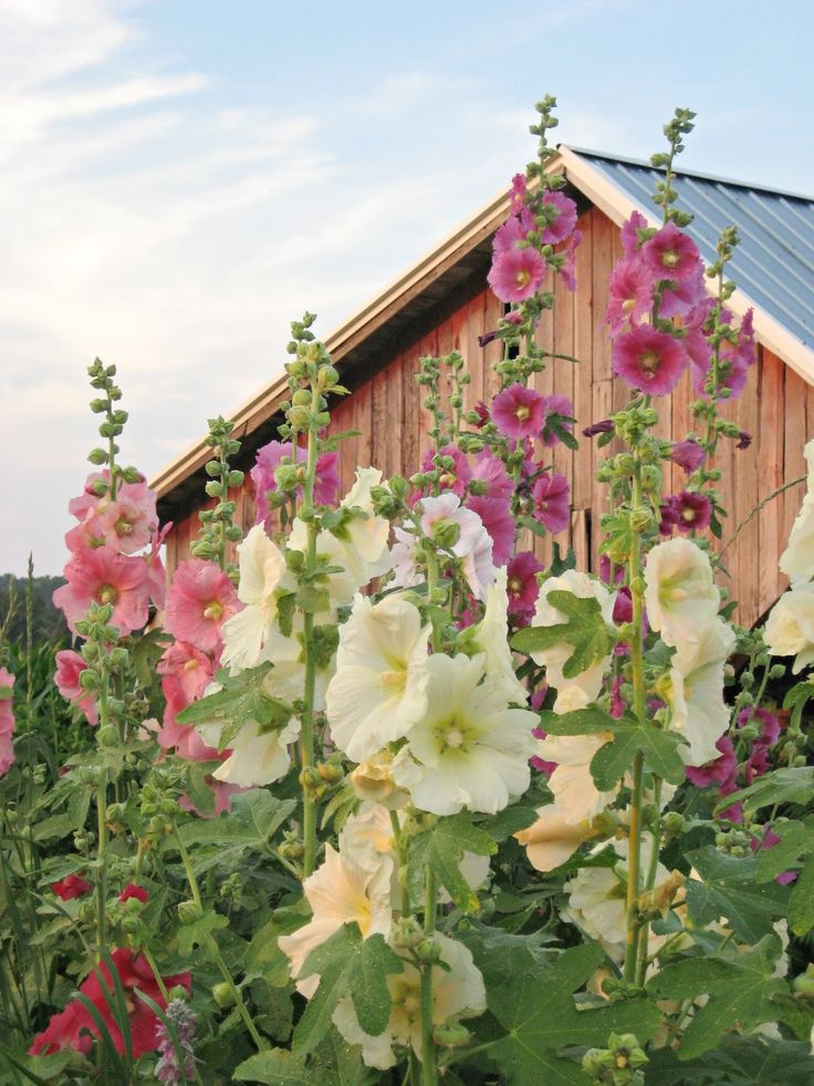tall-flowers-for-the-garden