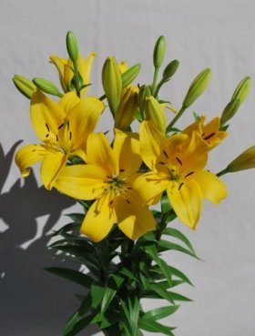 Yellow Asiatic Lilies 40 Stems