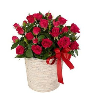 Lovely flowers Red Rose Plant – Eshopclub Same Day Flower Delivery – Fresh Flowers Plants – Wedding Flowers Bouquets – Birthday Flowers – Send Flowers – Flower Arrangements