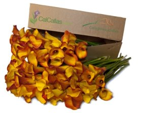 Orange Mini Calla Lilies 100 Stems, Callafornia Callas