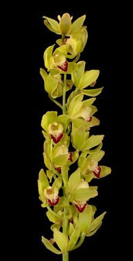 Cymbidium 8-11 Blooms! 10 Stem Case Pack! Wholesale