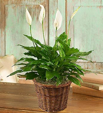 1-800-Flowers – Spathiphyllum Plant for Sympathy – Small
