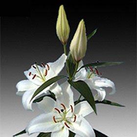 20 Oriental White Lilies Long