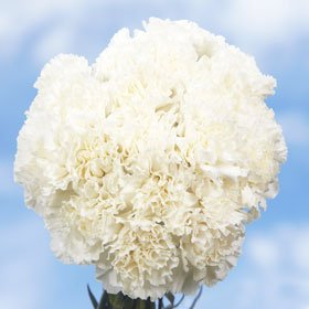300 Carnations White Long Carnation Flowers Wholesale