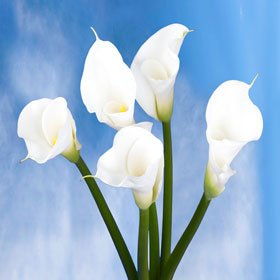 Beautiful White Open Cut Calla Lilies | Calla Open Cut White 18 Flowers