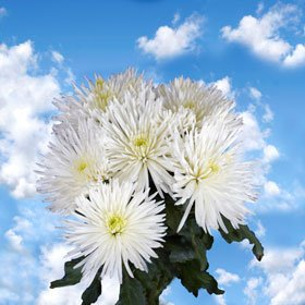 Fresh Cut White Fuji Spider Mums | 100 Pom Poms White Fuji Spider