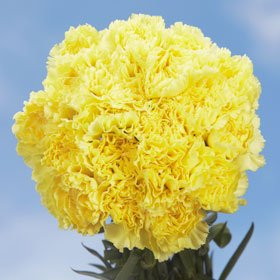 300 Carnations Yellow Long