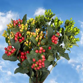 Hypericum Assorted Colors 240 Flowers Wholesale