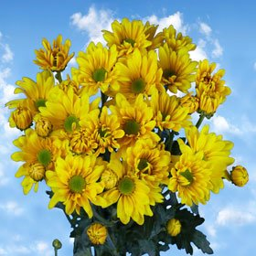 Beautiful Yellow Chrysanthemum Daisy Flowers | 36 Pom Poms Yellow Daisy