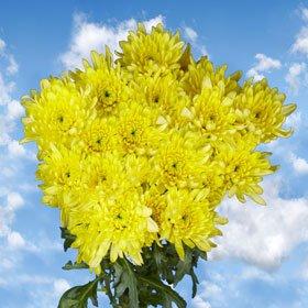 Fresh Yellow Chrysanthemum Cushion Flowers | 72 Pom Poms Yellow Cushion