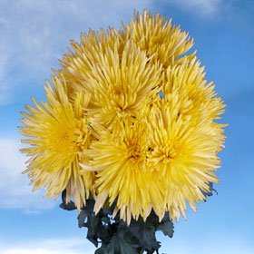 Beautiful Yellow Fuji Spider Mums | 100 Pom Poms Yellow Fuji Spider