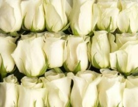 100 White Roses From South America (Wholesale) | 22-inch Stems | 100 Stems | Weddings, Anniversaries, or Party Decorations