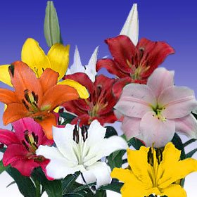 Asiatic Lilies Assorted 120 Flowers 24″ – 28″ Long Wholesale