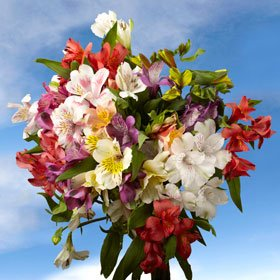 Buy Assorted Fancy Alstroemeria Flowers | 100 Alstroemeria Fancy