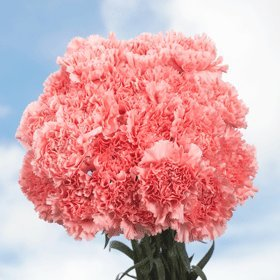 Best Mother's Day Flowers | 200 Pink Carnations