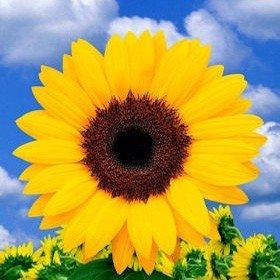 100 Sunflowers Yellow