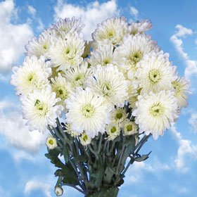 Send White Chrysanthemum Cushion Flowers | 72 Pom Poms White Cushion