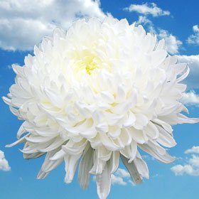 Beautiful White Chrysanthemum Disbud Flowers | 50 Pom Poms White