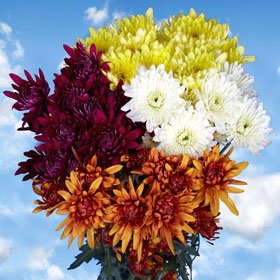 Best Assorted Chrysanthemums Cushion Flowers | 144 Pom Poms Assorted