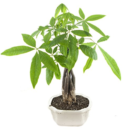 Health, Wealth, and Love Money Tree, White Ceramic Pot