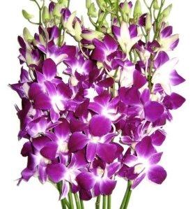 Graduation Flowers – 10 Stems Purple Dendrobium Orchid