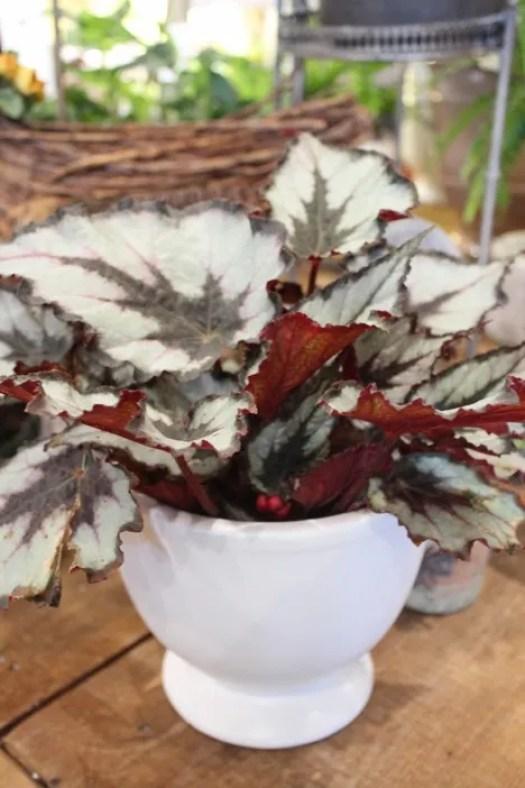 Silver Rex Begonia