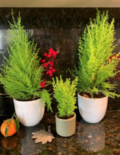 potted evergreen plants