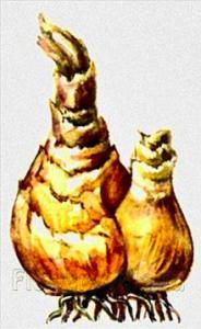 Нарцисс: посадка и уход, сорта, выращивание. Посадка в открытый грунт солнечных нарциссов