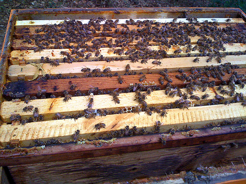 Bringing home the bees by tastybit via Flickr
