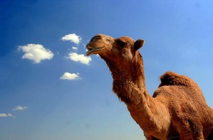 Camel by Angeloux via Flickr