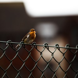 Robin, Trews Orchard