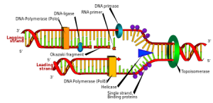 DNA replication fluoroquinolone Topoisomerase Interrupter
