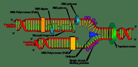 Study Finds that Ciprofloxacin Depletes Mitochondrial DNA
