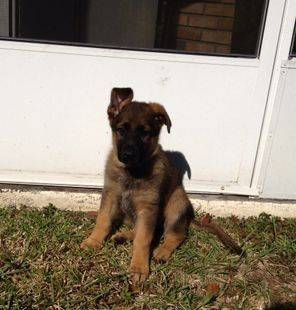 Sable puppy