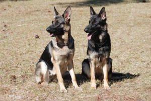 Birdie and Bogie, German Shepherds