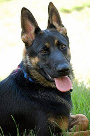 Schatzi (Peanut) the German Shepherd