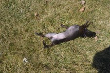 Pixie rolling grass bliss