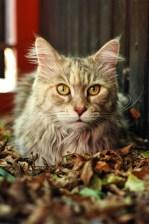 Edzia | Maine Coon | Kot | Cat